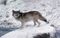 Ejemplar de lobo gris