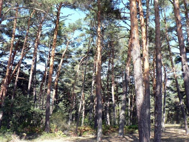 Bosque de la comarca pinariega