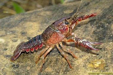 Ejemplar de cangrejo señal
