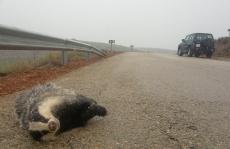 Un tejón atropellado en una carretera secundaria de la provincia