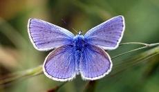 Una mariposa hormiguera