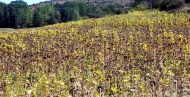 Campo de girasol en Soria