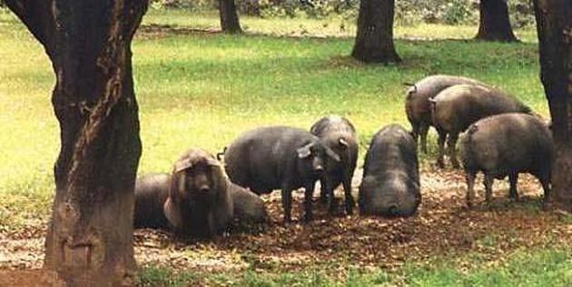 Porcino ibérico en dehesa