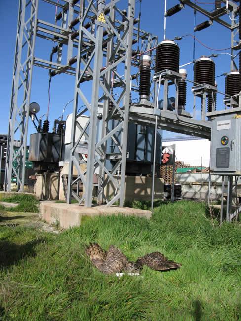 Búho real muerto ante la estación eléctrica