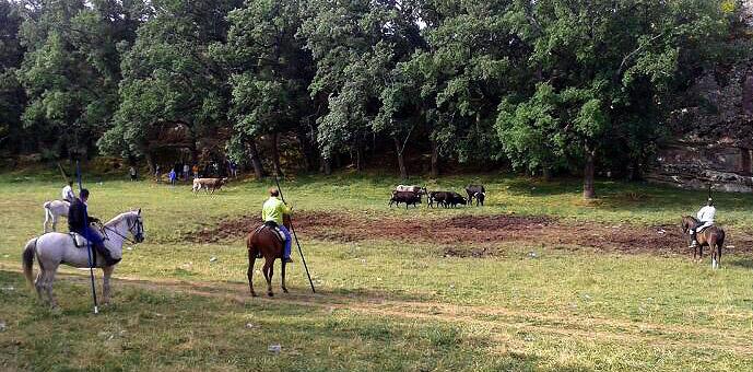 Los toros han hecho caso omiso de los caballistas.
