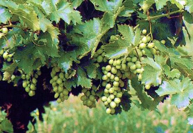 Un racimo de uva de la DO.