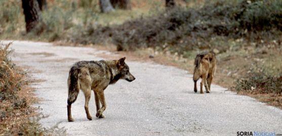 Soria tiene asignada la caza de cuatro lobos para la temporada 2013-14