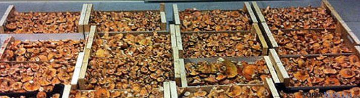 Níscalos recogidos en los bosques sorianos.