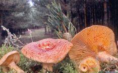 Níscalos en un pinar de la provincia.