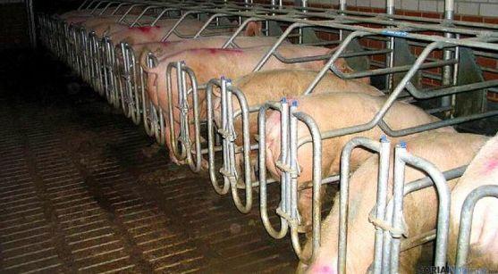 Una explotación de porcino en la provincia