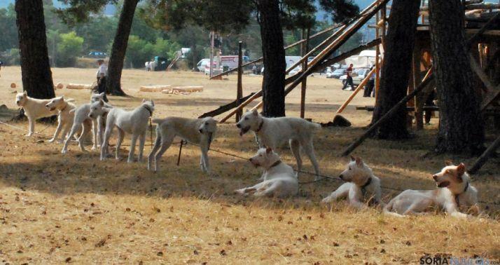 Perros de una rehala para caza mayor.