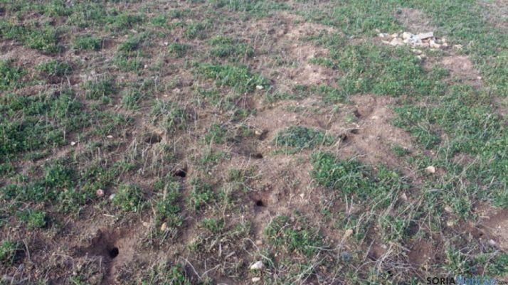 Madrigueras en una finca afectada por la presencia de topilllos