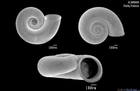 El molusco Corbellaria Celtiberica