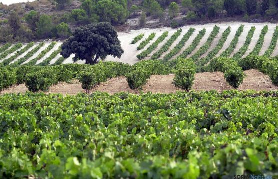 Viñedo de Vega Sicilia.