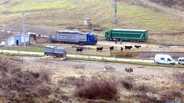 Dos camiones cargan el ganado esta mañana para su sacrificio en Burgos