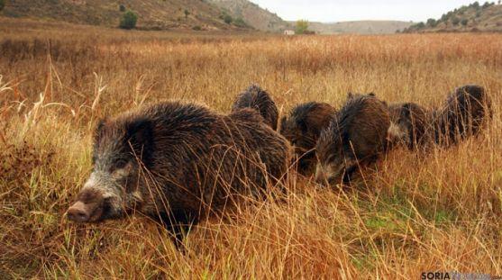 Los jabalíes responsables de la peste porcina africana en el este europeo.