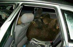 La imagen del jabalí en el vehículo.