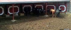 Los toros, en los corrales del coso soriano de San Benito.