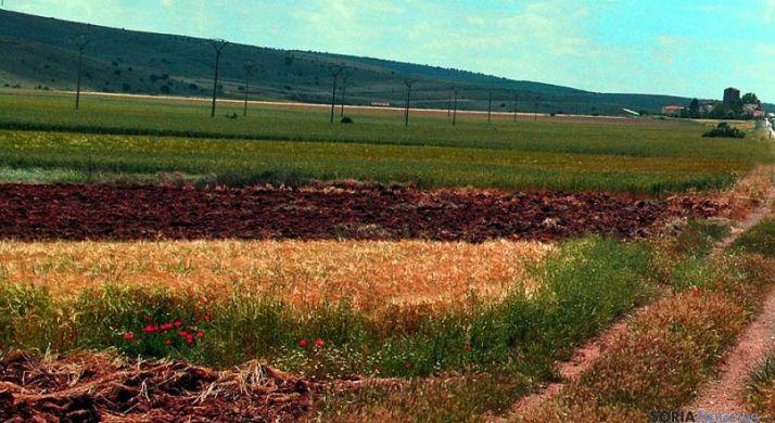 Campos de cereal ayer en la zona soriana del Rituerto.