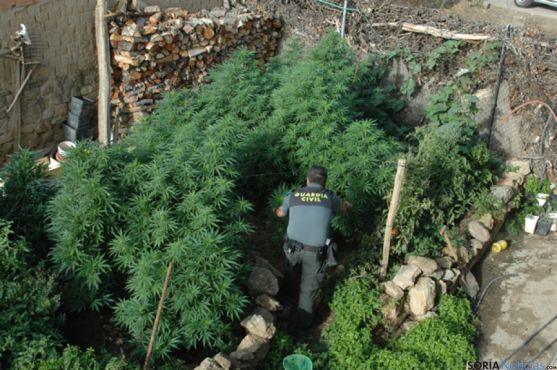 Marihuana en el campo de Gómara