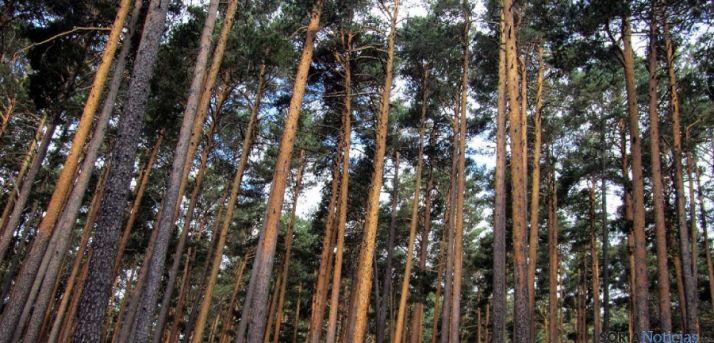 Árboles en la zona de los Pinares sorianos. / SN