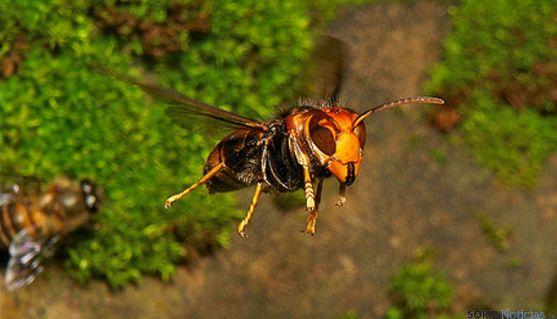 Ejemplar de avista asesina o avispa asiática. / flickr.com