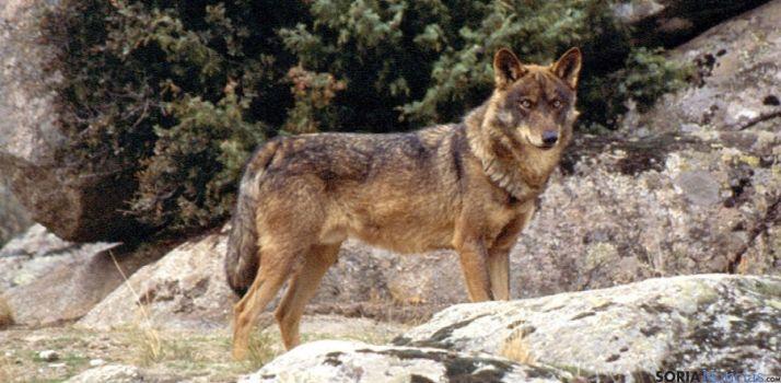 Ejemplar de lobo adulto.