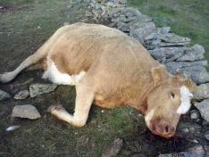 Animal muerto por los buitres