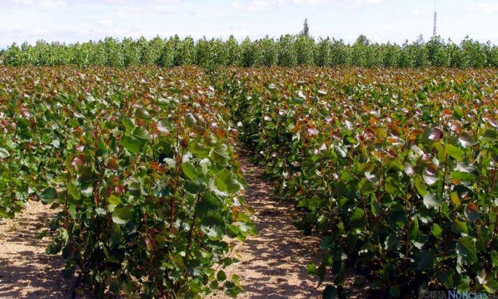 Chopos rebrotados para biomasa.