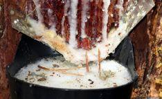 Aprovechamiento de miera de un pino resinero en Tardelcuende