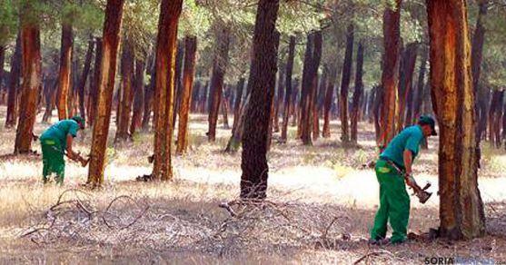 Resineros sorianos trabajando en un pinar. / CESEFOR