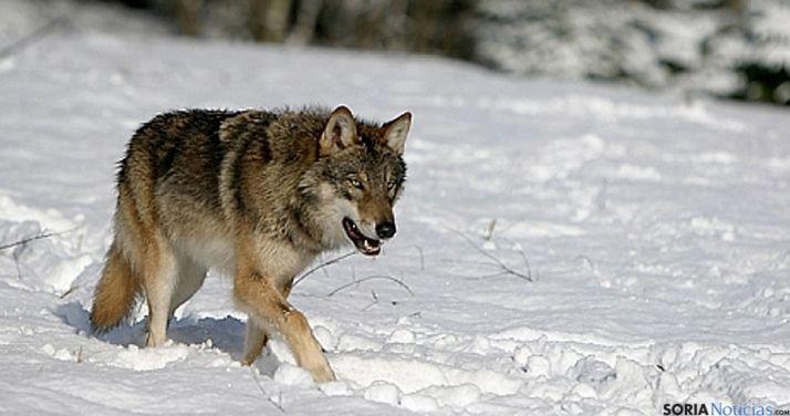 Un ejemplar de lobo transitando por la nieve.