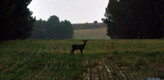 Un corzo en un campo cerca de Las Cuevas de Soria. / SN