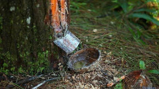 Extracción de resina en un pino de Soria. / SN
