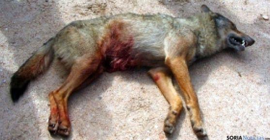 El lobo abatido por la Junta. /SRTV