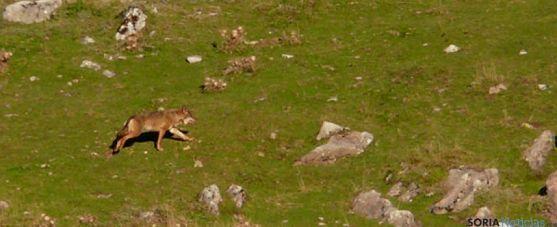 Un lobo en el monte. / http://zamora3punto0.com