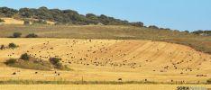 Un ganado pastando en un rastrojo este fin de semana. / SN