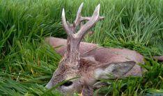 El corzo de Soria es muy valorado por los cazadores españoles