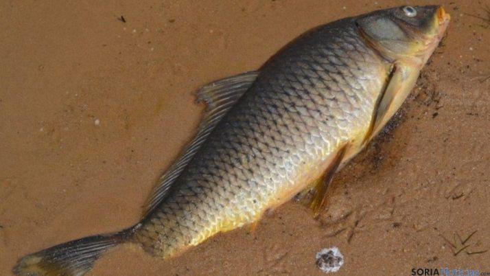 Carpa muerta en el pantano