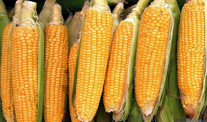 Varias mazorcas de maíz recién cosechadas.