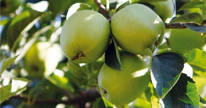 Manzanas en la explotación de Nufri en La Rasa. / Nufri