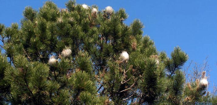 Ramas de un pino afectado por la procesionaria en Soria. / SN