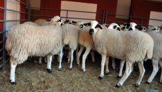 La oveja ojalada es una de las razas autóctonas de Soria. / SN