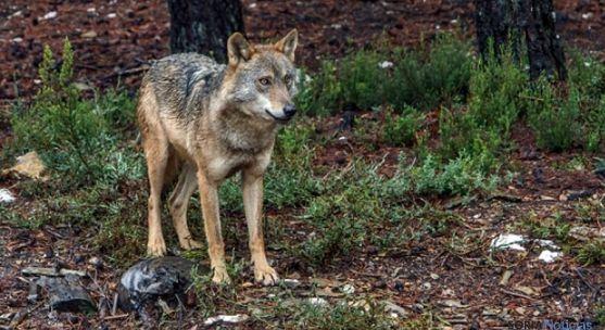 Un ejemplar de lobo en Sanabria (Zamora). / Jta.