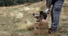 Un águila calzada al ser liberada tras su recuperación. / Jta.