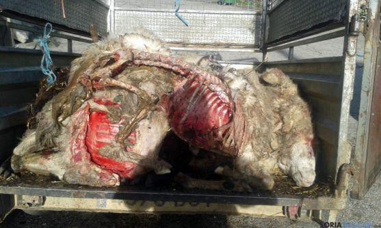 Cádaveres de algunas de las ovejas.