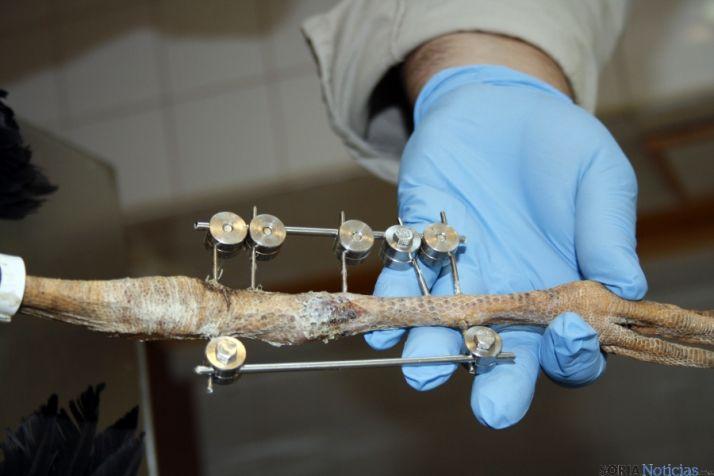 Una de las patas en tratamiento de una cigüeña./Jta