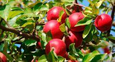 La empresa promueve una plantación de manzanos.