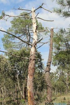 Aspecto preocupante de pino negral