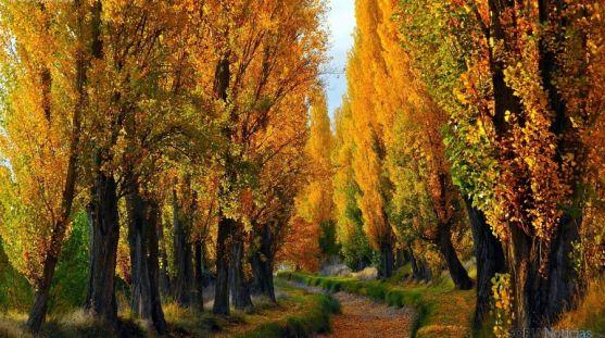 Una chopera en otoño. / SN